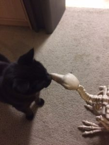My black cat meets a plastic bird skeleton