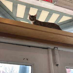 Calamity Jane at Mauhaus Cat Cafe in St. Louis