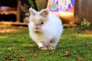 Very fluffy rabbit running across a green lawn